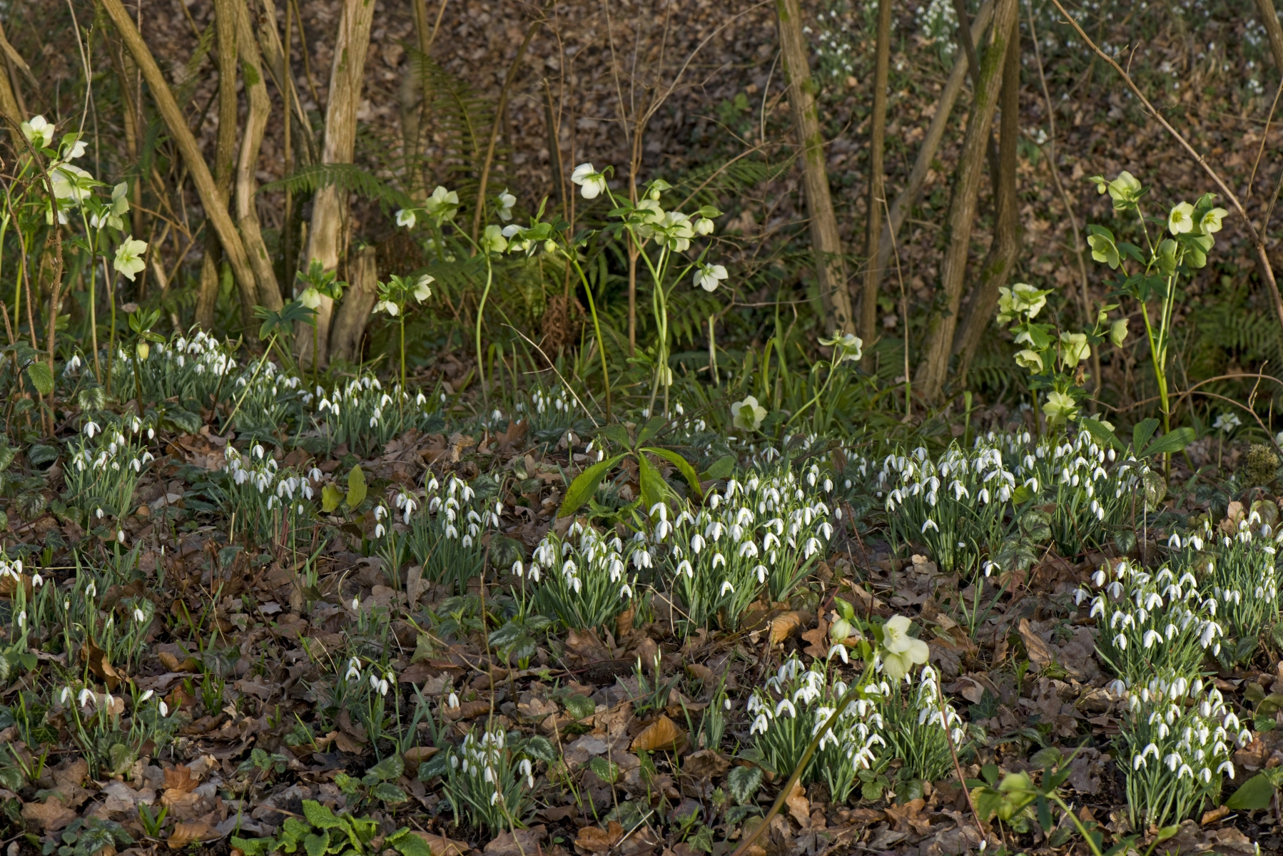 Snowdrops and white helleborus in the White Garden at Vann, Surrey in mid-February