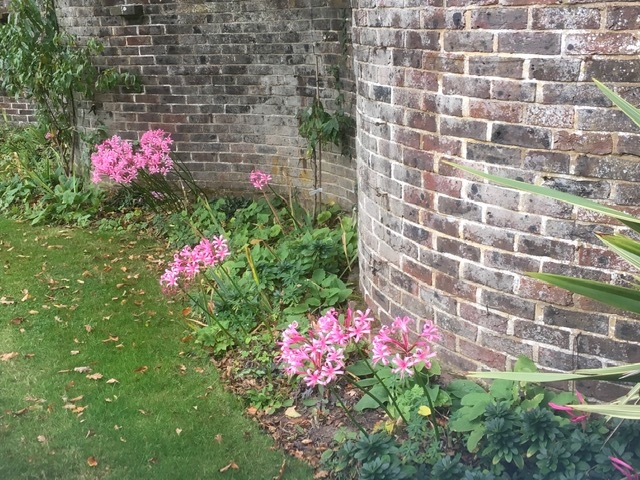 Nerine by the crinkle crankle wall