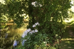 ClematisMadame-Marie-Boisselit-overlooking-the-pond-in-early-Summer