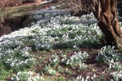 A carpet of snowdrops