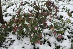 Hellebores in the snow