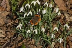 A red admiral (Vanessa atalanta) sunbathes on snowdrops in February in garden, Surrey, UK