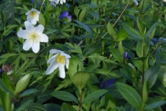 Anemone-and-vinca-GK