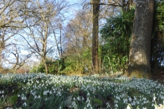 Carpet-of-snowdrops-February-2020