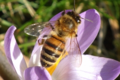 Wild-bee-collecting-pollen-from-crocus-February-2020